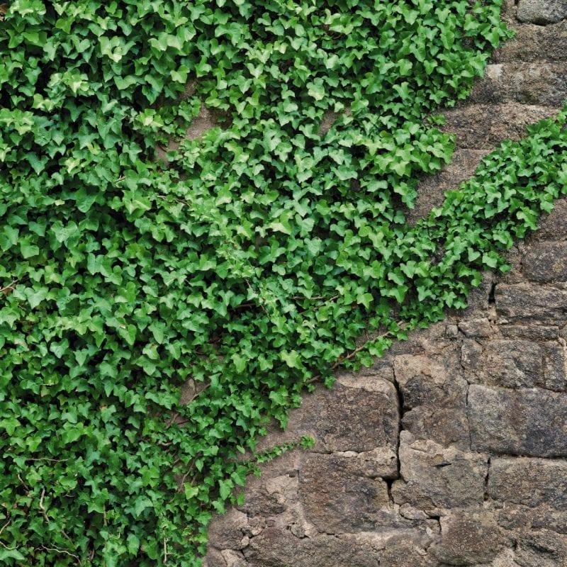 Fotomural Muro de piedra y hiedra 4324 Komar