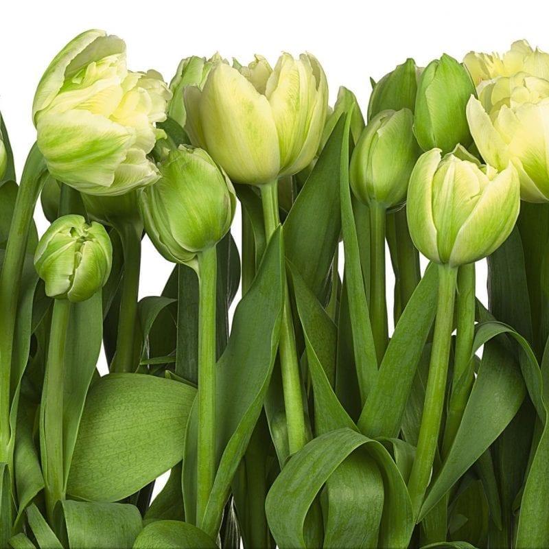 Tulipanes 8900