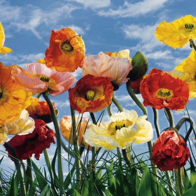 Fotomural Poppies 8257 - Komar