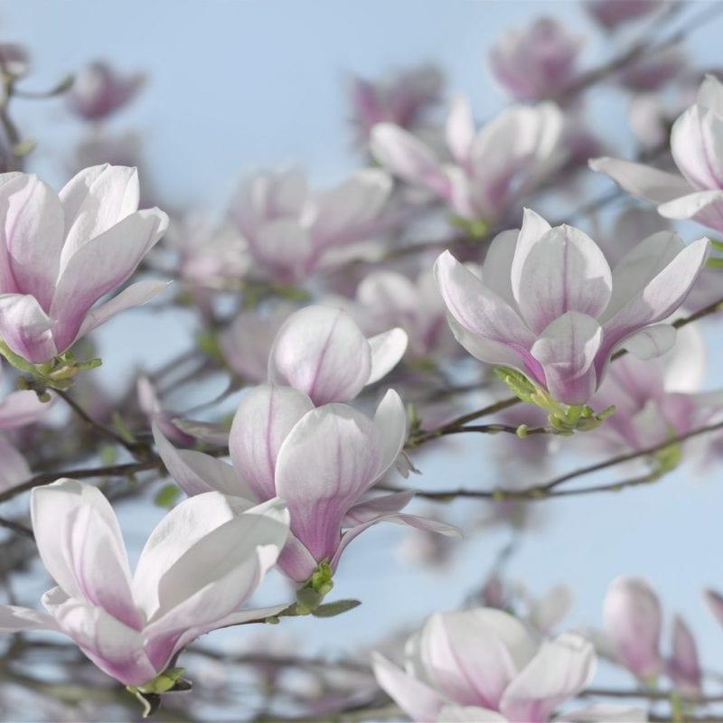 Fotomural Flores Magnolia 8738 Komar
