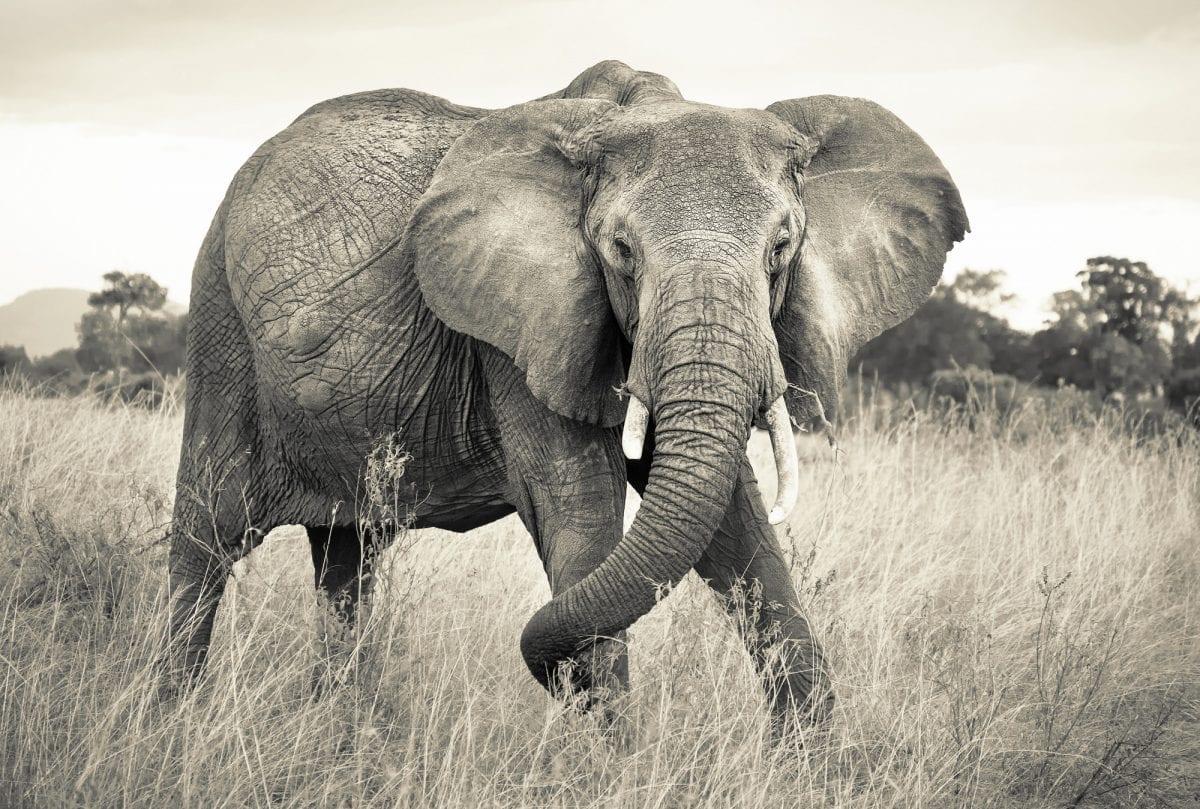 fotomural elefante 4-529 Komar