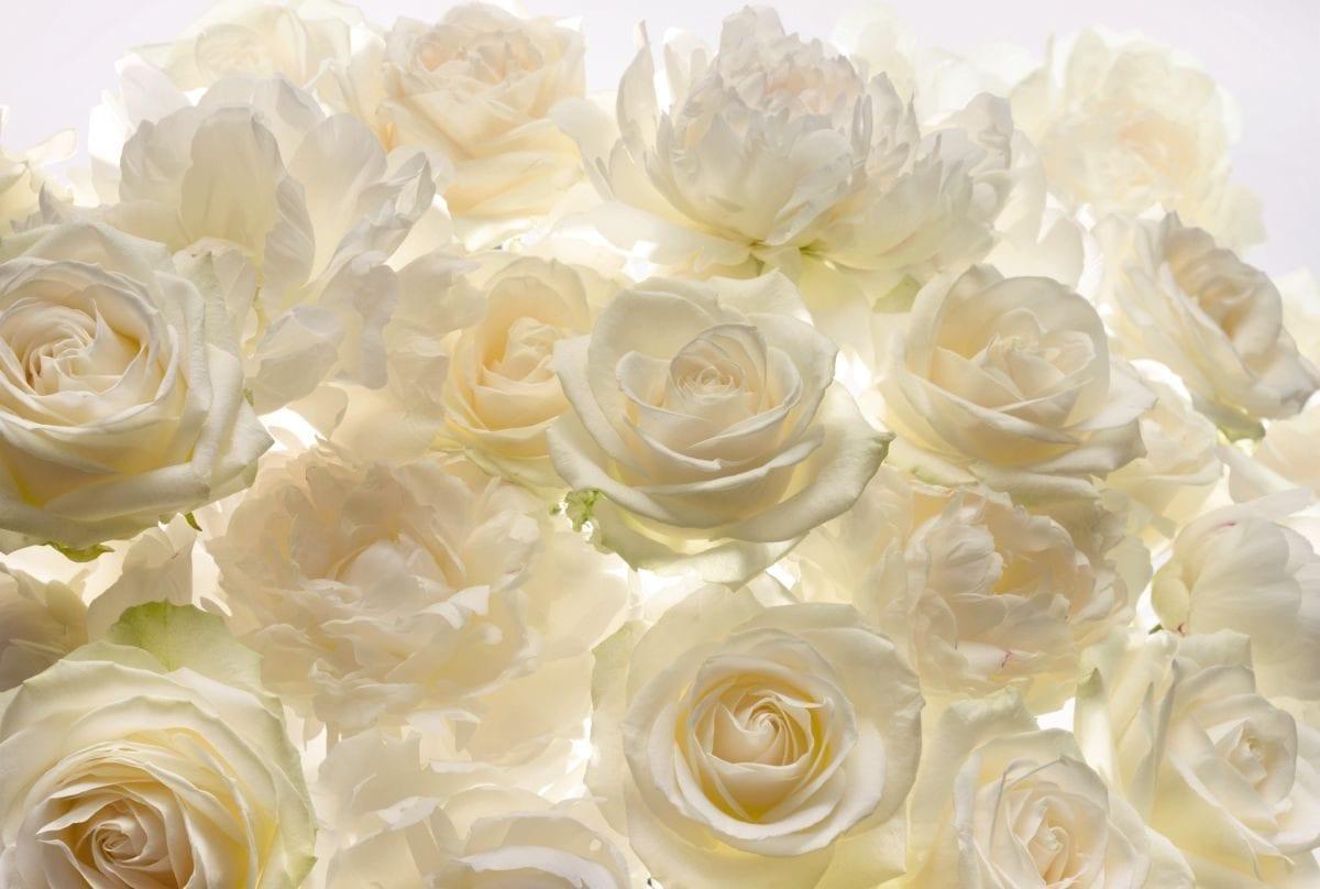 Fotomural Rosas blancas 4007 Komar
