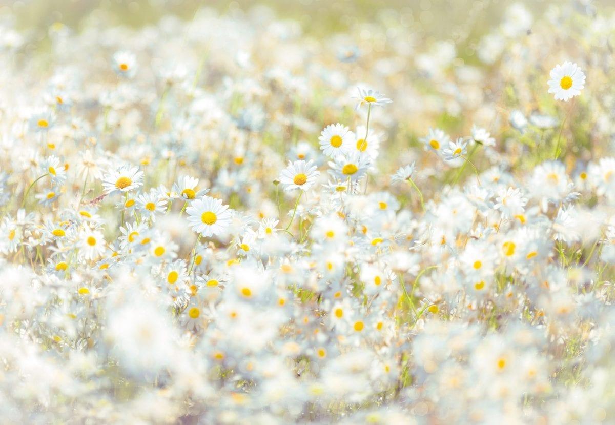 Fotomural Flores margaritas 8994 - Komar